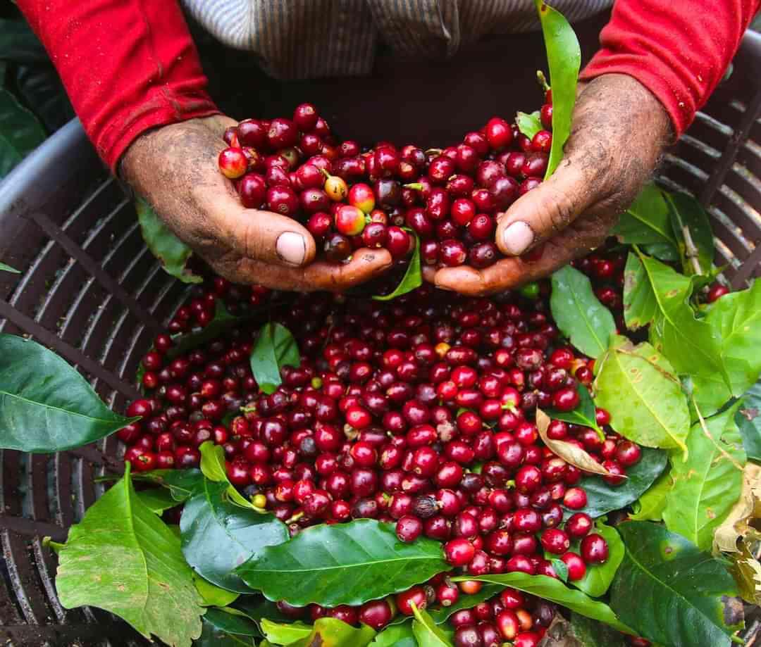 Sip n cycle coffee cherries